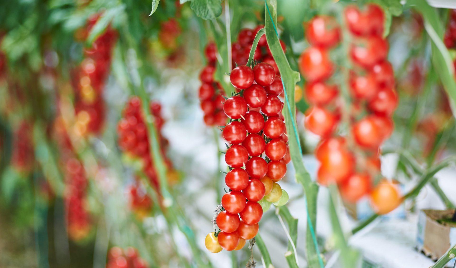 Za tajomstvom chuti paradajok